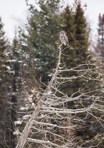 Great Gray Owl on dead tree--slant