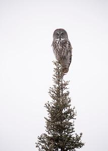 Great gray Owl on single spruce tree
