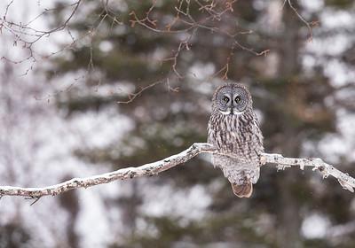 Great Gray Owl on Birch Branch