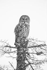 Great Gray Owl on Stump B&W  Snowshoe Lodge