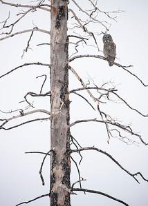 Great Gray Owl on dead tree-vertical