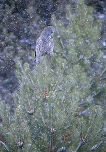 Great Gray Owl in snowfall-sideview-vert