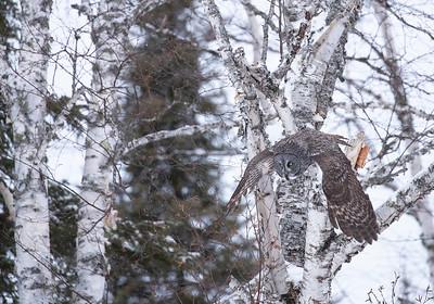Great Gray owl -takeoff from birch