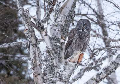 Great Gray Owl in Birch-closeup
