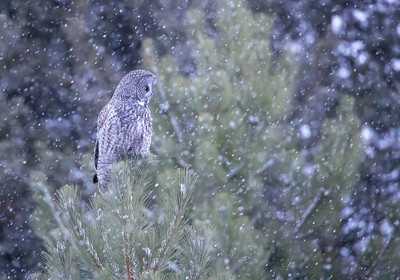 Great Gray Owl in snowfall-sideview