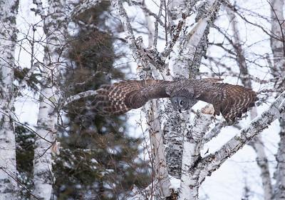 Great gray owl owl in birch 2