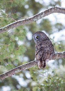 Great Gray Owl on Pine tree, side view