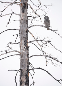Great Gray Owl on dead tree-vertical2