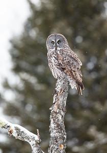 Great Gray Owl on dead tree stump