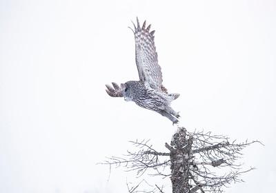 Great Gray Owl  -Takeoff1