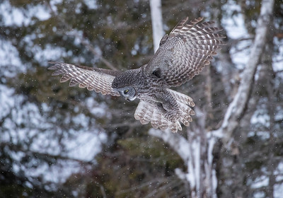 great gray owl hunting1