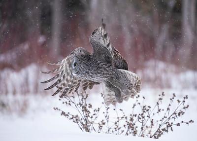 Great Gray Owl  in flight1