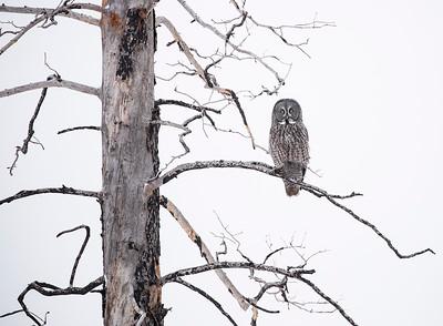 Great Gray Owl on dead tree-horz