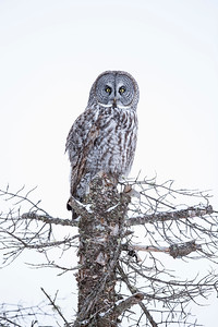 Great Gray Owl on Stump - Snowshoe Lodge