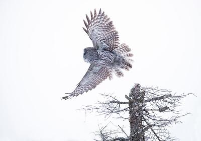 Great Gray Owl  -Takeoff2