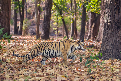 Tiger Cub Stalking2 - Bandhavgarh National Park, India