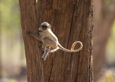 Languar Monkey, India