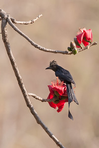 Racket-tailed Drongo, India