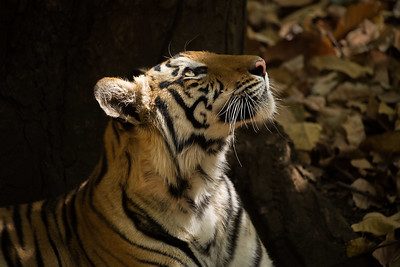 Tiger in light - India