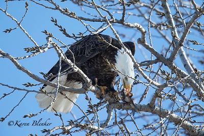 Bald Eagle eating fish2