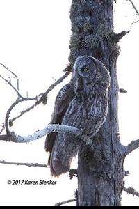 Great Gray Owl with Breakfast- Sax Zim Bog, MN