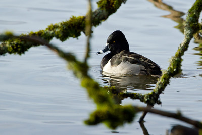 Ring-necked Duck, male.