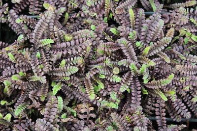 Leptinella squalida 'Platt's Black' (4-10-17)