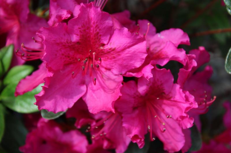 Azalea 'Girard's Fuchsia' (2)