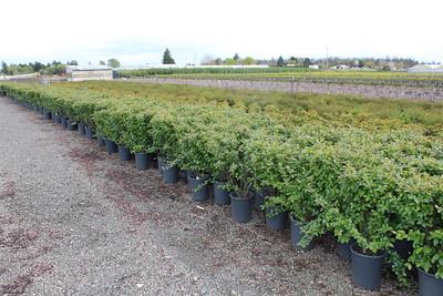 Cotoneaster lucidus #5