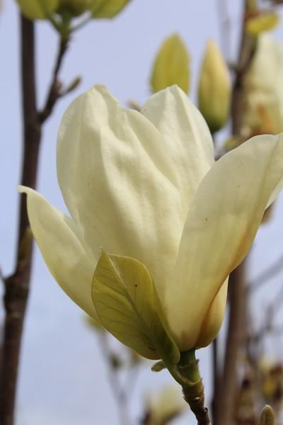 Magnolia x 'Elizabeth' (2)