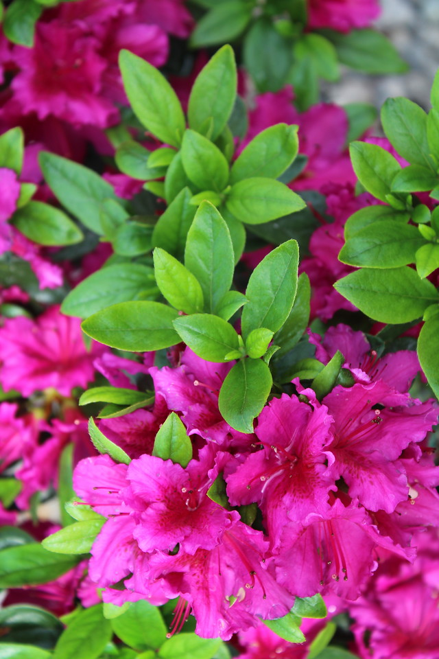 Azalea 'Girard's Fuchsia'