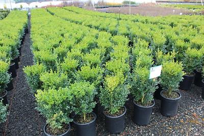 Buxus sempervirens #5 (2)