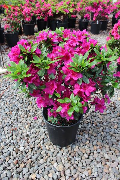 Azalea 'Girard's Fuchsia' #2