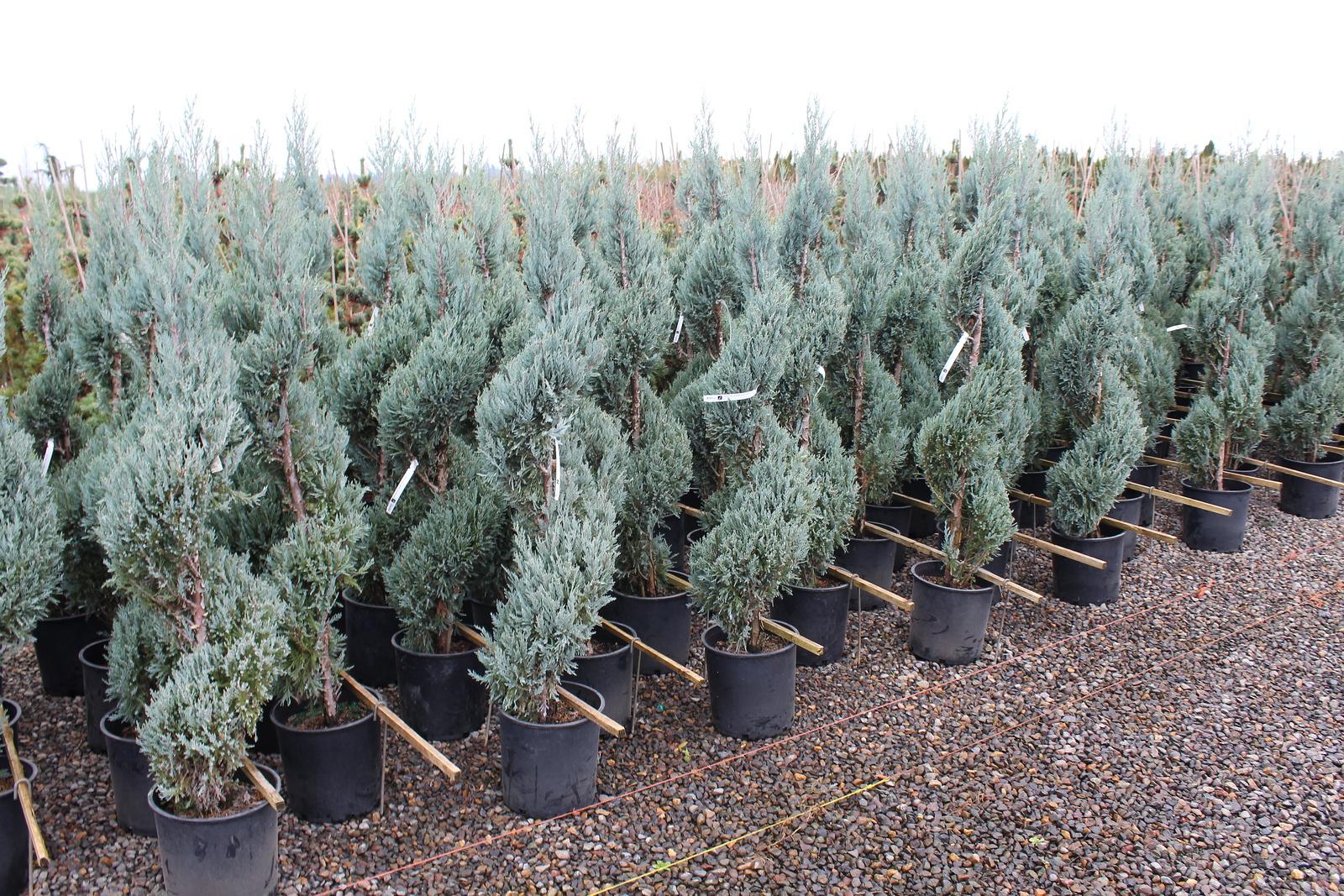 Juniperus scop  'Moonglow', Spiral #5