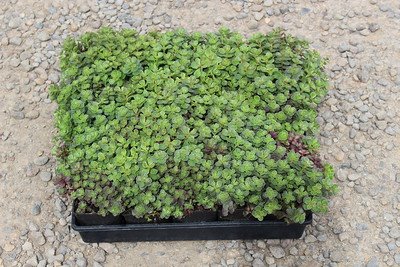 Sedum 'Dragon's Blood' (5-18-16) (2)