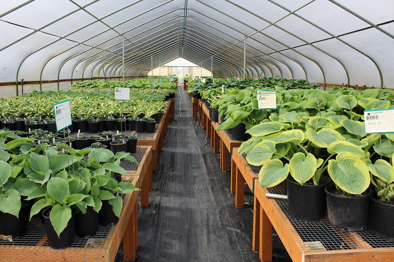 Hosta Greenhouse