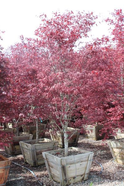 Acer palmatum 'Bloodgood' 2 5 in #30 box