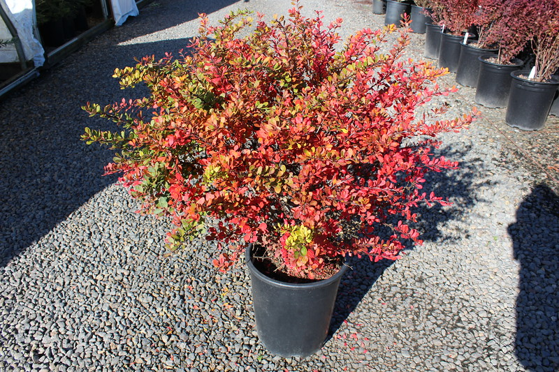 Berberis thun. 'Kobold' #5 (fall color)