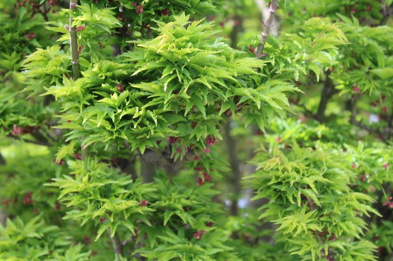 Acer palmatum 'Shishigashira' (1)