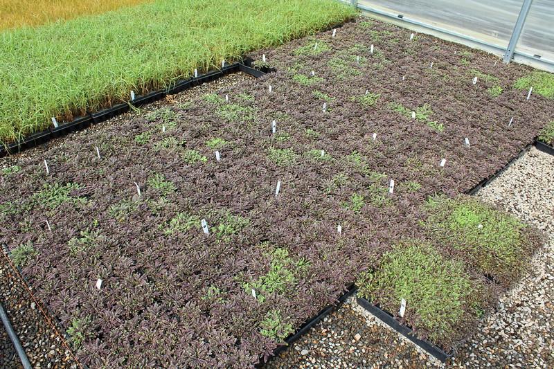 Leptinella squalida 'Platt's Black' 3 5 in 25 per flat (4-10-17) (1)