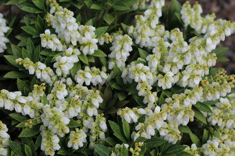 Pieris japonica 'Prelude'