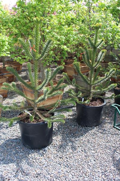 Araucaria araucana 3-4 ft #25