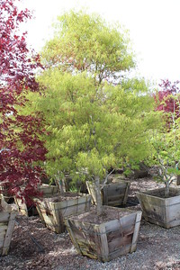 Acer palmatum 'Koto no ito' Specimen 3 in #30 box
