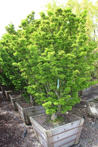 Acer palmatum 'Shishigashira', Specimen, 4 in #30 box