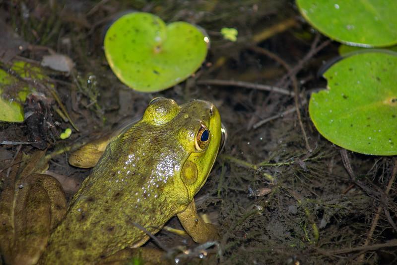 Bullfrog (Lithobates atesbeianus)