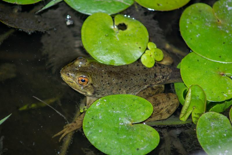 Juvenile Bullfrog (Lithobates atesbeianus).