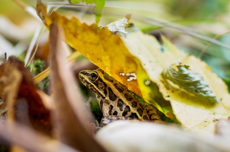 Northern leopard frog ( Rana Pipiens)