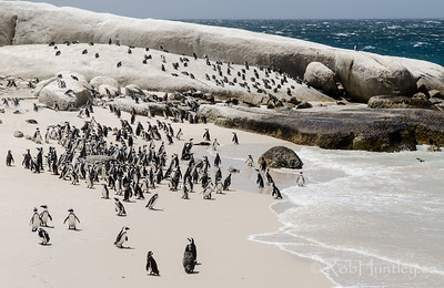 African Penguins at Boulders Beach.