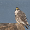 Female Peregrine falcon<br /> Raymond Barlow Photo Tours to USA - Wildlife and Nature<br /> <br /> Peregrine Tours<br /> Nikon D810 ,Nikkor 600 mm f/4 ED<br /> 1/1600s f/6.3 at 600.0mm iso400