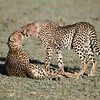 Cheetah adult female and her cub.<br /> Clean up time!<br /> <br /> Join me in January?<br /> <br /> Tanzania, Africa<br /> <br /> ray@raymondbarlow.com<br /> Nikon D850 ,Nikkor 200-400mm f/4G ED-IF AF-S VR<br /> 1/4000s f/4.5 at 400.0mm iso640
